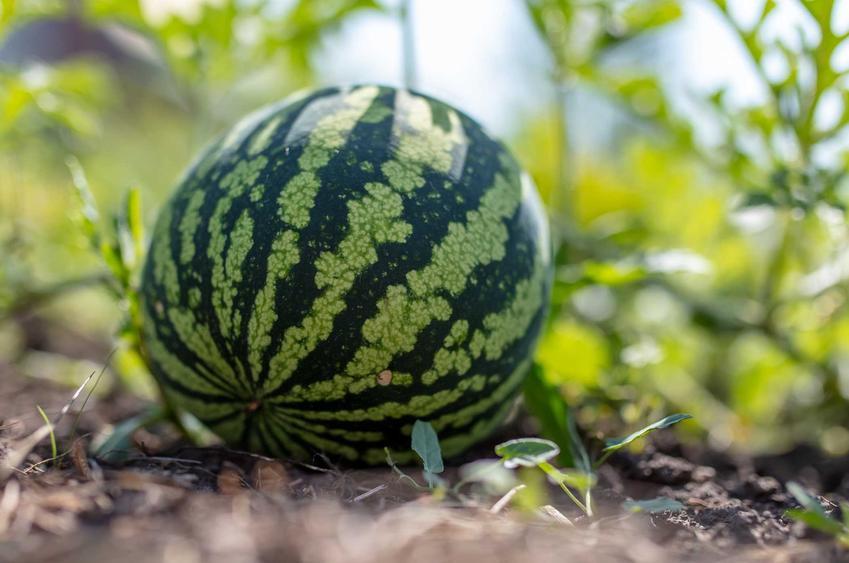 Duży arbuz w ogrodzie, czyli jak rośnie arbuz, tajniki uprawy, najważniejsze zasady i porady