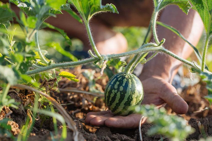 Maleńki arbuz wyrastający w ogrodzie, a także informacje, jak rośnie arbuz, uprawa, warunki w ogrodzie