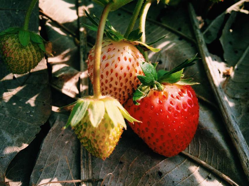 Truskawki w czasie dojrzewania, a także truskawki pnące i truskawki wiszące, opis oraz uprawa
