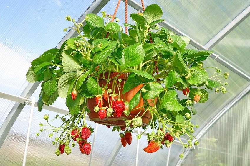 Truskawki wiszące w doniczce zawieszonej w szklarni u sufitu, a także pielęgnacja i uprawa truskawek pnących