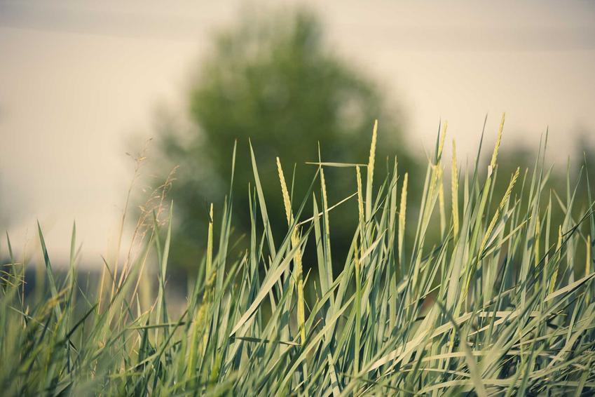 Wydmuchrzyca piaskowa o zielonych źdźbłach, a także charakterystyka gatunku, sadzenie, podlewanie i wymagania w ogrodzie