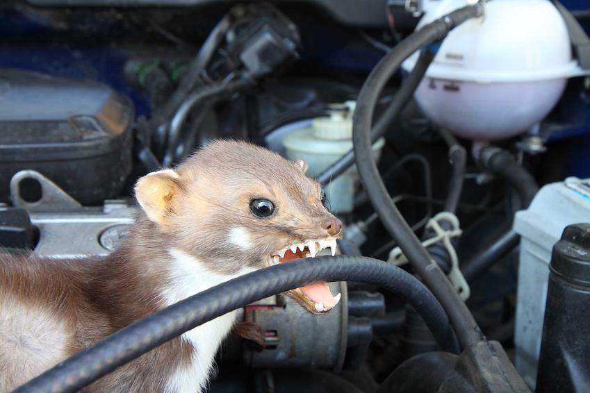 Kuna przegryza przewód w samochodzie, a także odstraszacz kun do samochodu, ceny oraz modele odstraszaczy