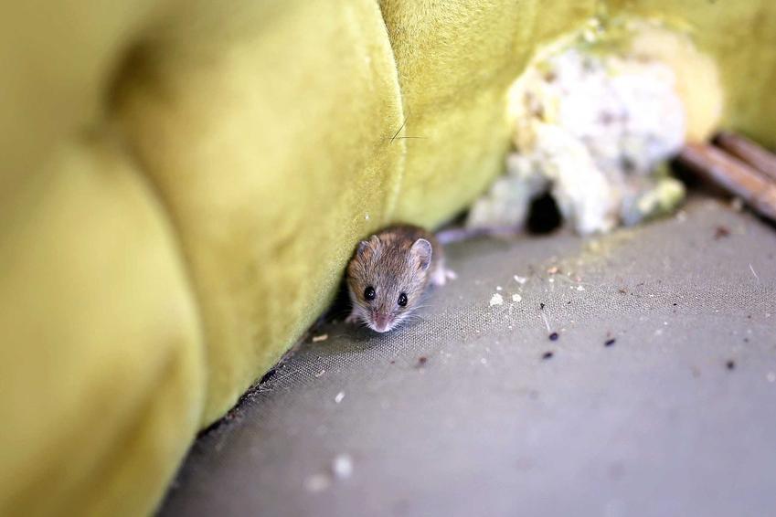 Mysz robiąca szkody w domu poddaje się, jeśli jest włączony odstraszacz gryzoni, a także ceny i rodzaje urządzeń
