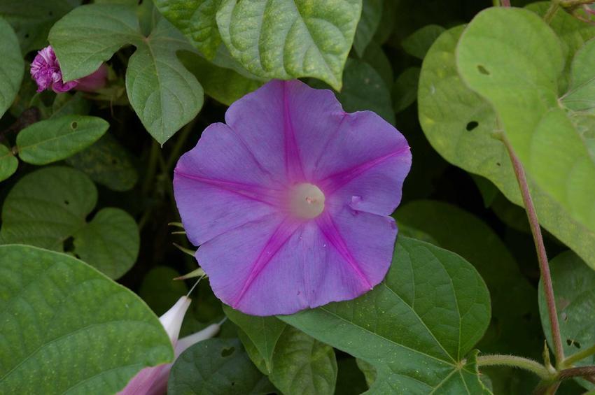 Kwiat wilca purpurowego w ogrodzie, a także charakterystyka gatunku, wymagania oraz sadzenie w ogrodzie
