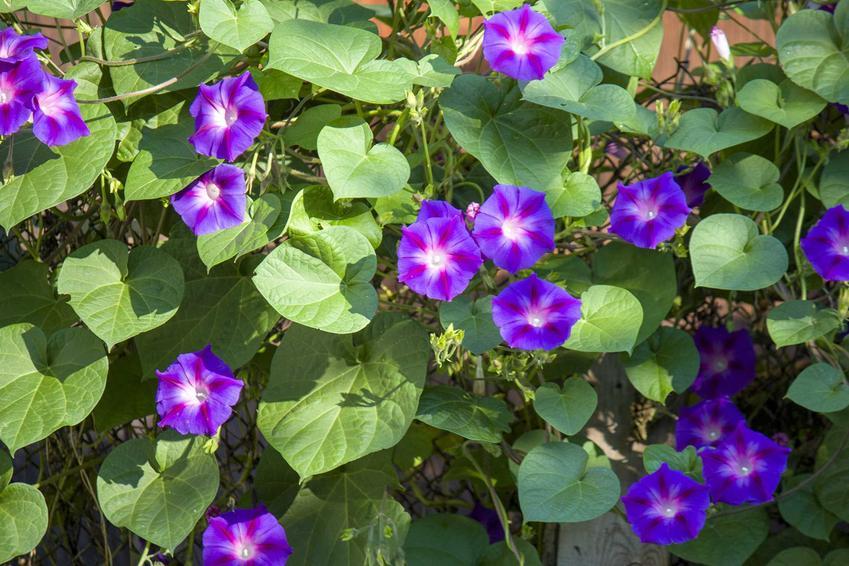 Wilec purpurowy o licznych kwiatach, a także charakterystyka, wymagania i pielęgnacja krok po kroku