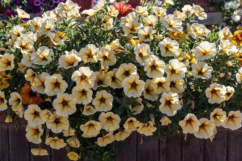 Petunia kaskadowa o kremowych kwiatach w doniczce na balkonie, a także wymagania gatunku, opis oraz podlewanie