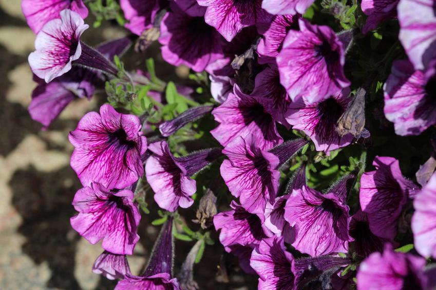 Petunia kaskadowa o fioletowych kwiatach w doniczce, a także opis, podlewanie, sadzenie oraz pielęgnacja