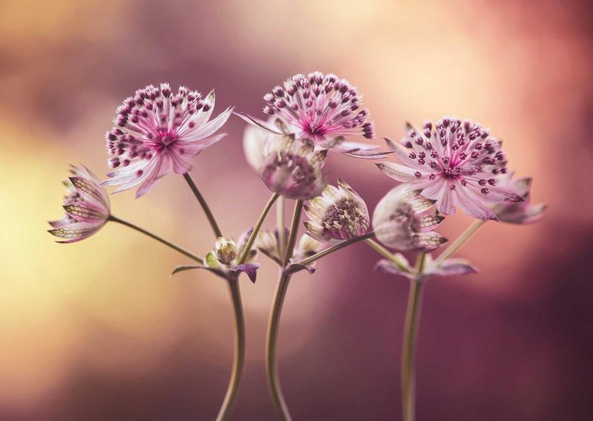 Delikatne kwiaty jarzmianki większej, a także informacje o roślinie, sadzenie, uprawa oraz stanowisko w ogrodzie
