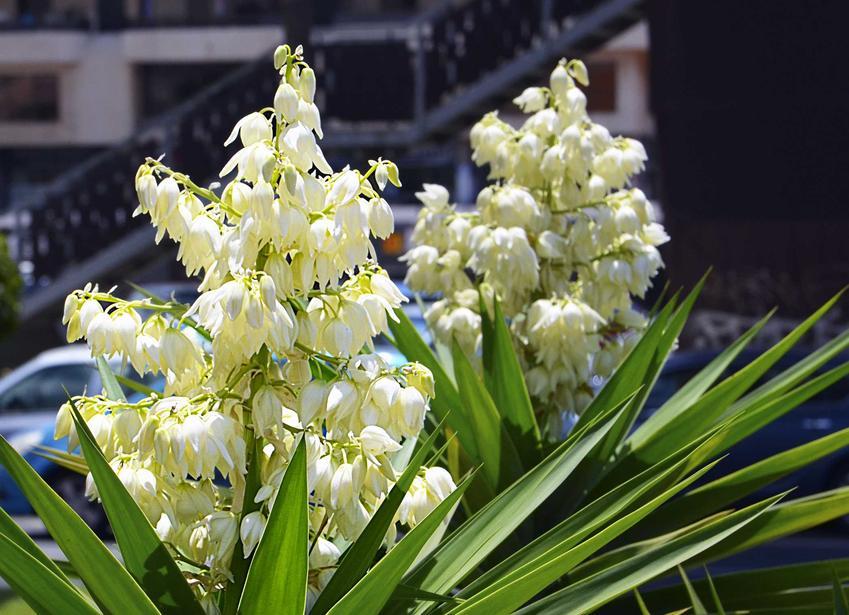 Jukka karolińska w ogrodzie o pięknych, białych kwiatach, a także informacje, wymagania i stanowisko rośliny