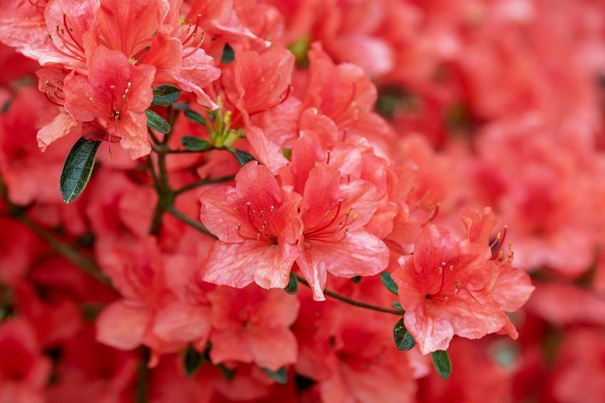 Rododendron - odmiany oraz uprawa