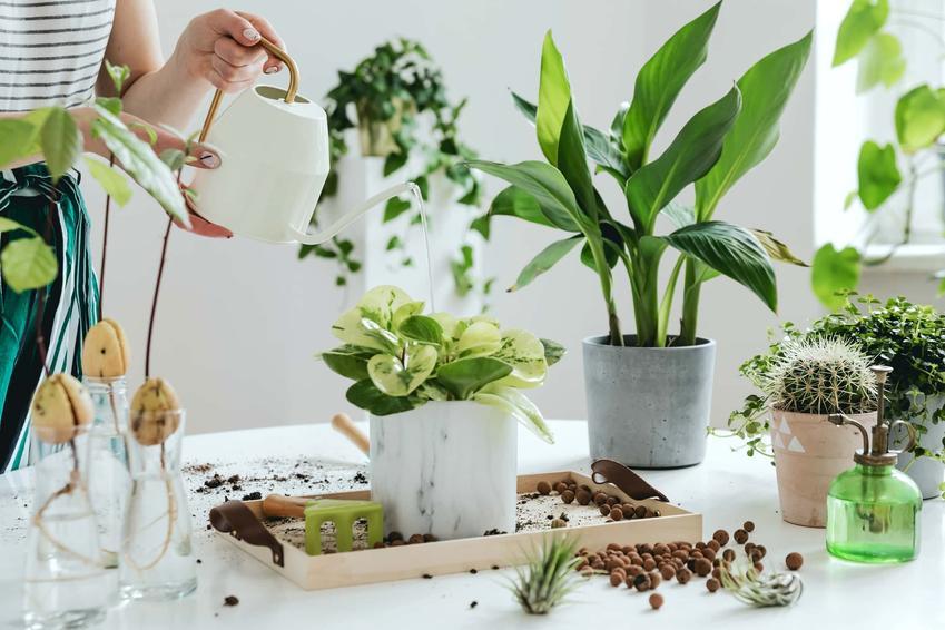 Na stole stoją kwiaty w doniczkach. kobieta wyciąga dłoń, aby je podlać, rośliny podatne na przemarzanie