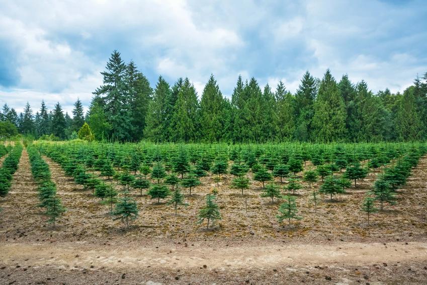 Szereg drzew iglastych o różnych rozmiarach, klasyfikacja drzew a zadrzewianie terenu, jaka jest historia zadrzewiania, zadrzewianie terenów państwowych