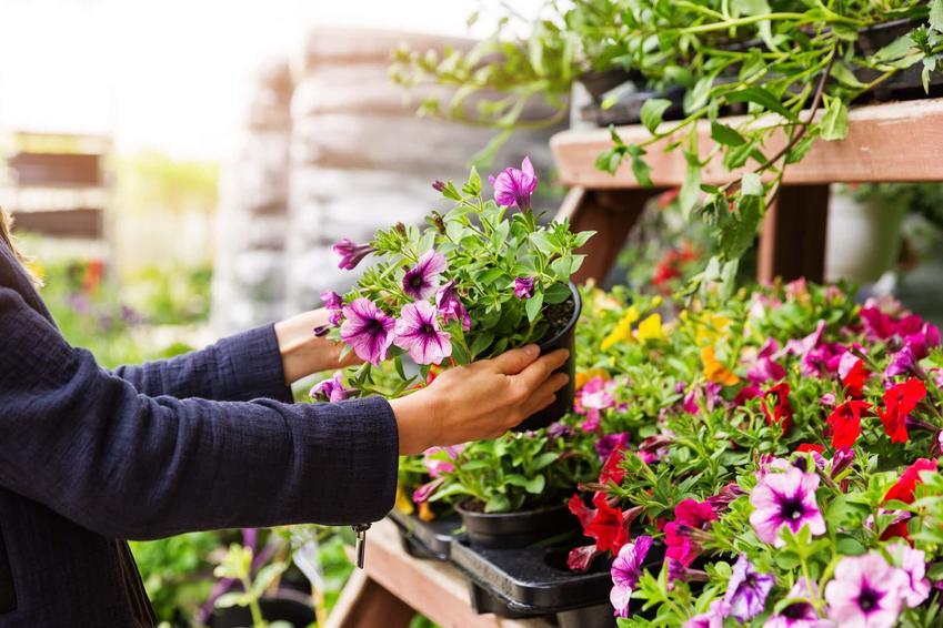 Kobieta podnosi doniczkę z petuniami, jakie są odmiany petunii i jak wygląda pielęgnacja petunii
