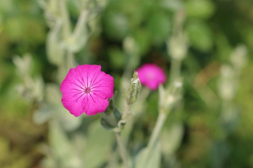 Drobne różowe kwiatki firletki kwiecistej, firletka kwiecista jako bylina ozdobna, firletka kwiecista uprawiana w ogrodzie, w jakich warunkach uprawiać firletkę kwiecistą