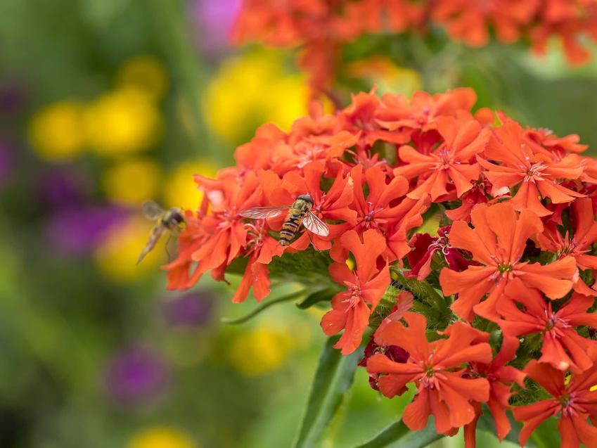 Czerwony kwiat firletki chalcedońskiej, jak firletka chalcedońska znosi zmianę temperatur, opis i wygląd firletki chalcedońskiej
