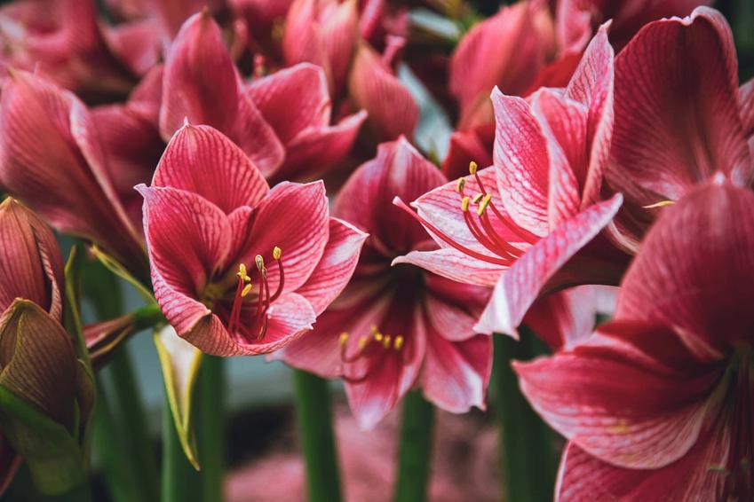 Czerwone kwiaty amarylisa, marylis czerwony, jak często podlewać amarylisa i czy dodawać odżywki do wody podlewając amarylisa
