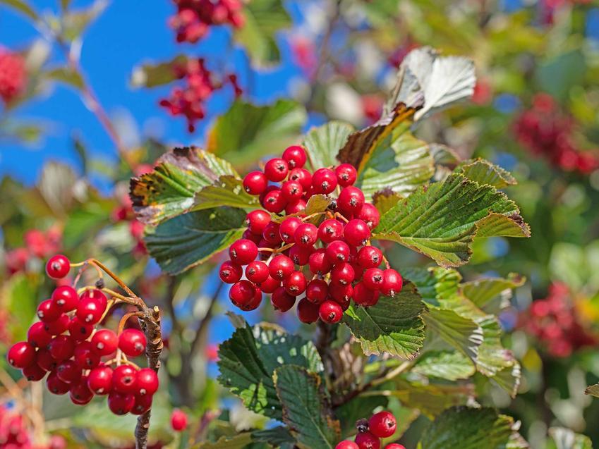 Owoce jarząbu mącznego na drzewie, a także opis gatunku oraz wymagania rośliny krok po kroku