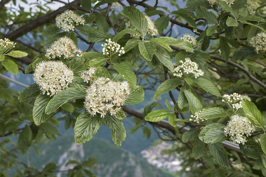Kwiaty jarząbu mączneg na drzewku wiosną, a także pochodzenie gatunku oraz pielęgnacja w ogrodzie