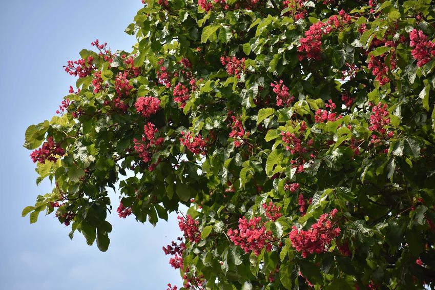 Drzewo kasztanowiec czerwony w czasie kwitnienia, a także informacje o gatunku oraz uprawa i pielęgnacja