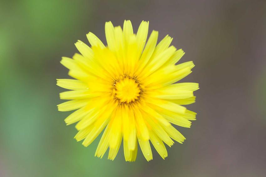 Koszyczek kwiatowy jastrzębca kosmaczka w ogrodzie, a także szkodliwość i zwalczanie rośliny oraz jej opis i rozpoznanie