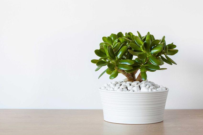 Crassula ovata (grubosz jajowaty) w doniczce na półce, a także wymagania i pielęgnacja rośliny