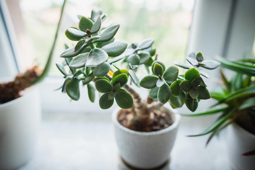 Grubosz jajowaty, czyli Crassula ovata i jego ciekawe liście, a także wymagania w pielęgnacji i uprawa na parapecie