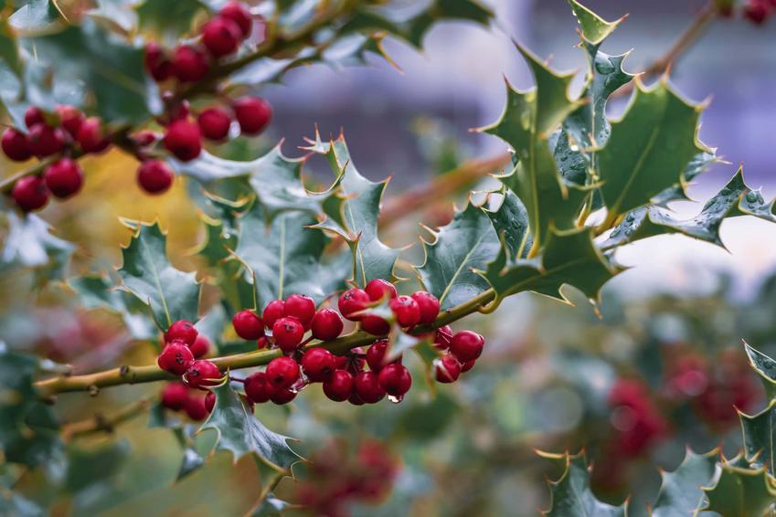 Ostrokrzew kolczasty w ogrodzie, ostrokrzew kolczasty do jesienno zimowego ogrodu, które drzewa owocują we wrześniu