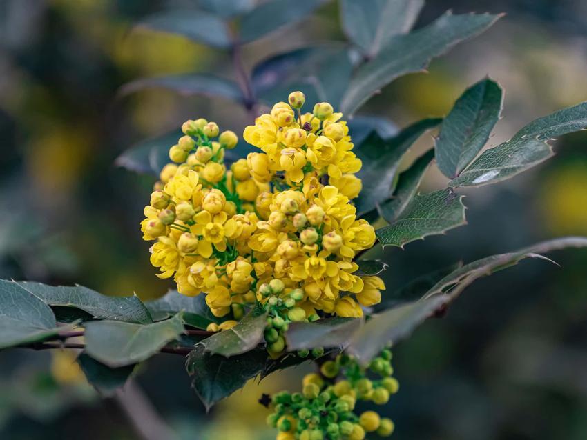 Mahonia pospolita może być uprawiana w ogrodzie, jak kwitnie mahonia pospolita, jak dbać jesienią o rośliny w ogrodzie