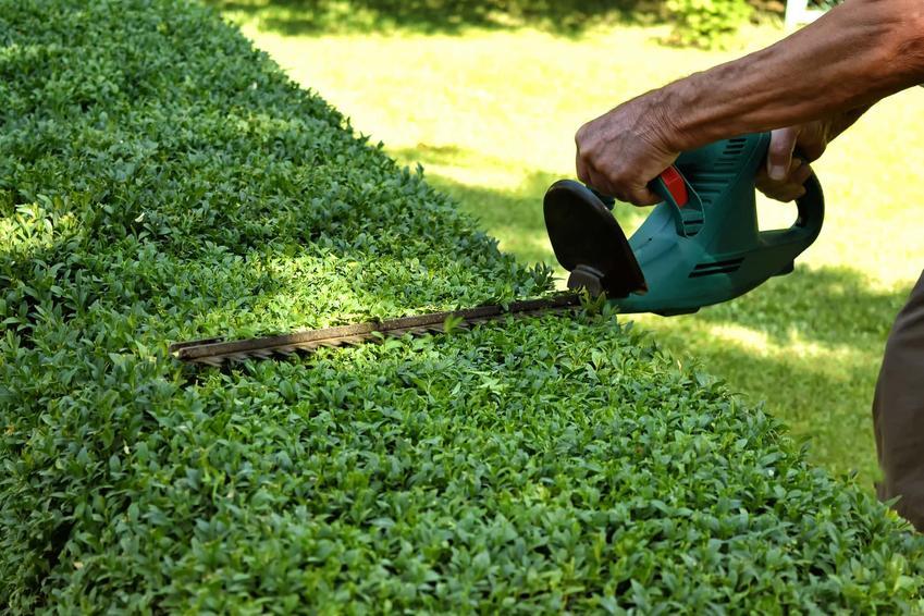 Żywotnik zachodni nie zrzuca liści na zimę, idealne rośliny do ogrodu na zimę, czy żywopłot jest zielony cały rok