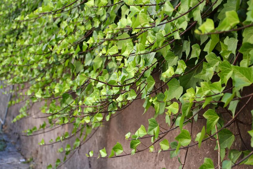 Ściana z bluszczu, czy bluszcz pospolity jest rośliną długowieczną i czy warto uprawiać bluszcz na balkonie