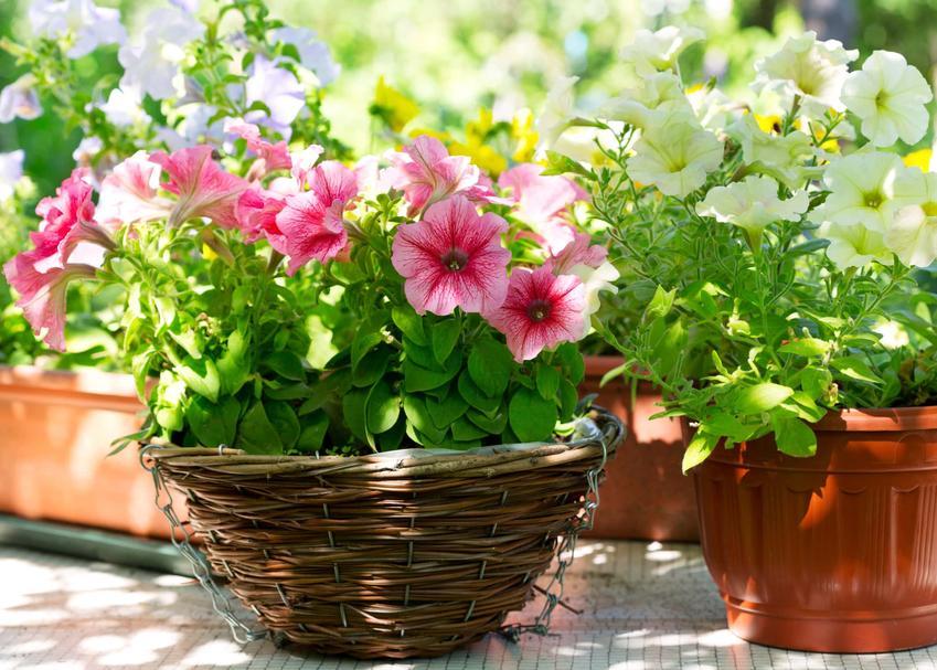 Klielichy kwiatu petunii, petunie w doniczce, petunie na balkonie czy w ogrodzie, jakie są odmiany petunii