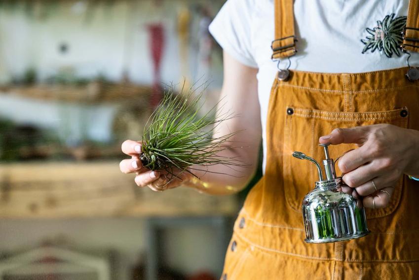 Kobieta trzyma w ręku tillandsię, czy oplątwa jako roślina tropikalna potrzebuje specjalnych warunków