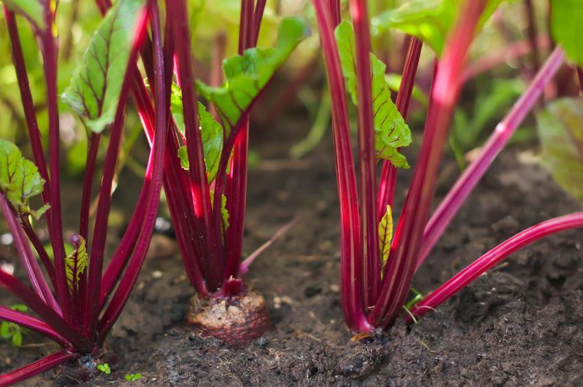 Burak zwyczajny w ogrodzie na grządce, a także jego uprawa, właściwości i zastosowanie w kuchni