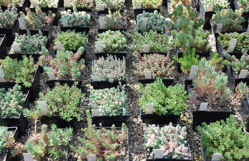 Wilczomlecz Euphorbia submammillaris na tle innych sukulentów, a także jego uprawa i pielęgnacja krok po kroku