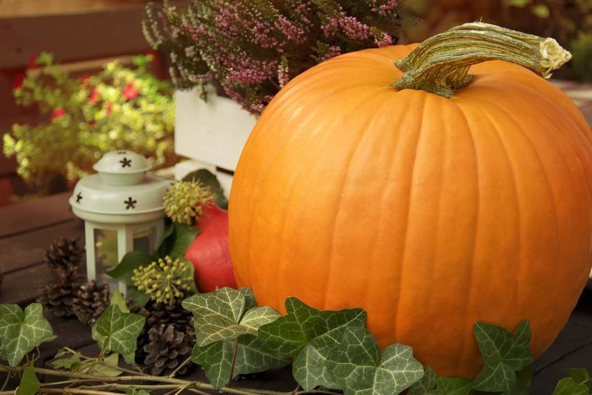 Dynia olbrzymia w towarzystwie dekoracji, a także jego zastosowanie, właściwoście, wymagania i sadzenie