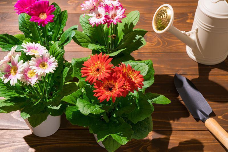 Gerbera doniczkowa - pielęgnacja, uprawa i inne ważne informacje