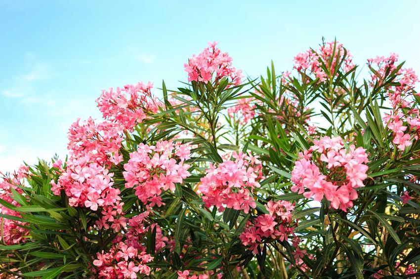 Oleander pospolity ma bardzo atrakcyjne liście i kwiaty. Rozmnażanie oleandrów odbywa się poprzez pobranie pędów wierzchołkowych, które są widoczne na zdjęciu. Obsługa czytników ekranu włączona.