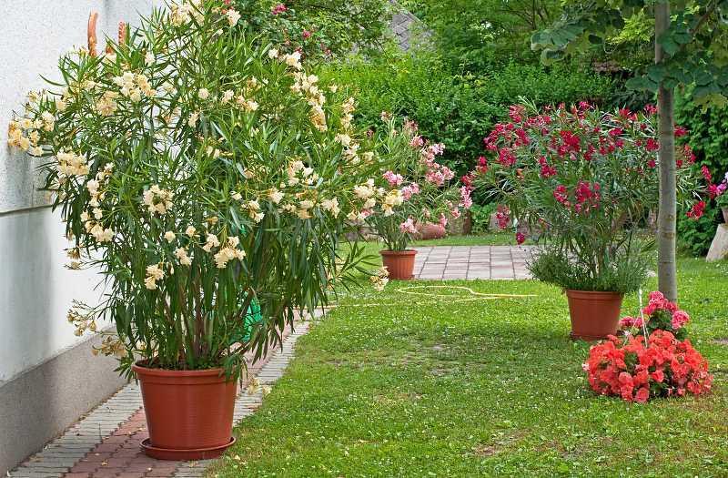 Oleander pospolity o pięknych kwiatach w ogrodzie, a takż epielęgnacja choroby i zimowanie w ogrodzie.