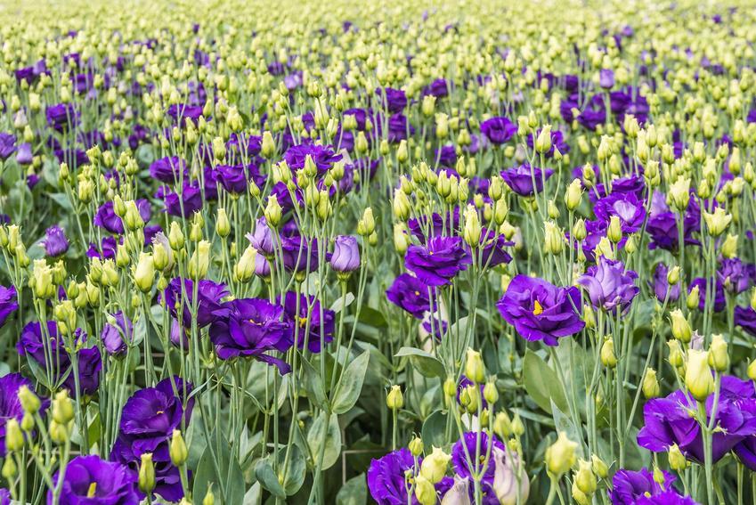 Eustoma w ogrodzie bardzo ładnie się prezentuje. Delikatny kwiatuszek świetnie nadaje się na bukiety ślubne, jest delikatna i ma wspaniałe kolory.