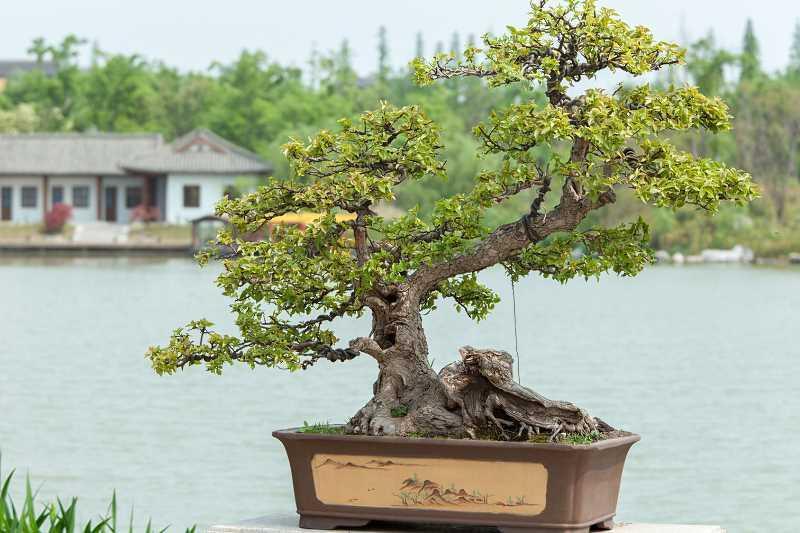 Stylizowane drzewko bonsai w doniczce, a także uprawa, pielęgnacja i sadzenie drzewka bonsai krok po kroku oraz formowanie gałązek