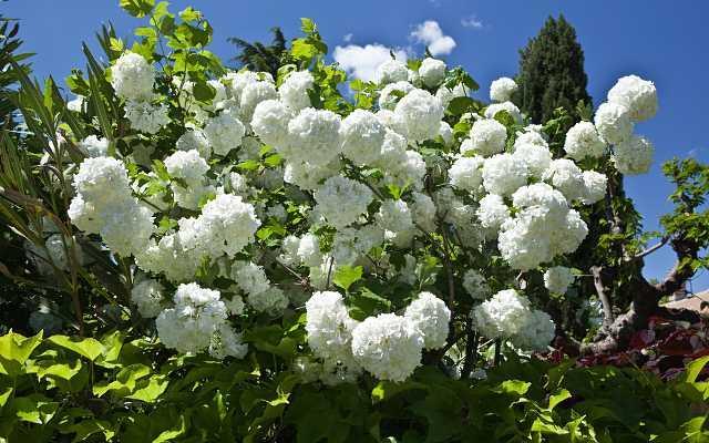 Kalina koralowa o pięknych białych kwiatach kwitnąca całą wiosnę, a także sadzenie, wymagania, pielęgnacja, zastosowanie i uprawa w ogrodzie