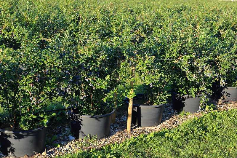Krzew borówki amerykańskiej o dojrzałych owocach, a także właściwości, uprawa oraz najlepsze odmiany borówki