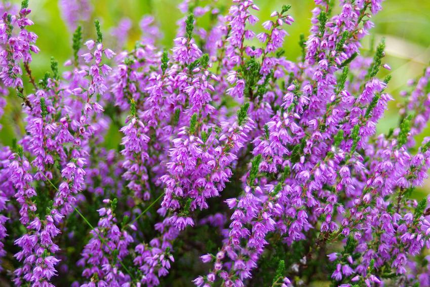 Kwitnący wrzos w doniczce, czyli odmiany wrzosów i wrzośców, sadzenie, uprawa, pielęgnacja wrzosów i wrzośców w doniczkach i ogrodzie