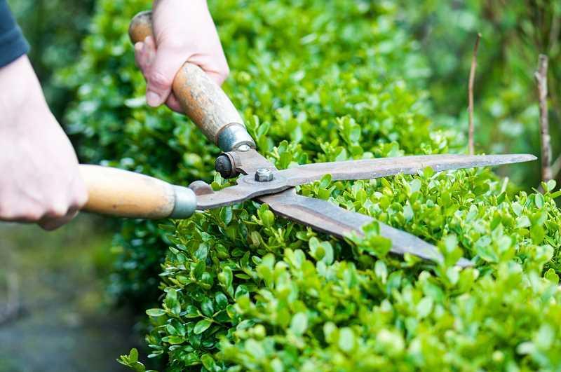 Rośliny na żywopłot szybko rosnący - przegląd najlepszych krzewów