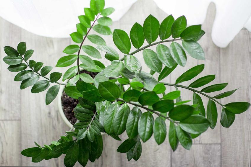 Zamiokulkas zamiolistny - porady ogrodnicze