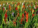Mieczyki (gladiole) a sadzenie: jak i kiedy sadzić i jak wygląda uprawa?