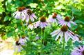 Jeżówka purpurowa - właściwości, zastosowanie lecznicze, porady