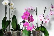 Storczyk phalaenopsis (Falenopsis) - pielęgnacja, podlewanie, porady