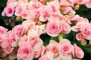 Begonia wielkokwiatowa w ogrodzie - wymagania, pielęgnacja, rozmnażanie