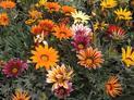 Kwiat gazania - cena, odmiany, wysiew, uprawa, pielęgnacja i rozmnażanie